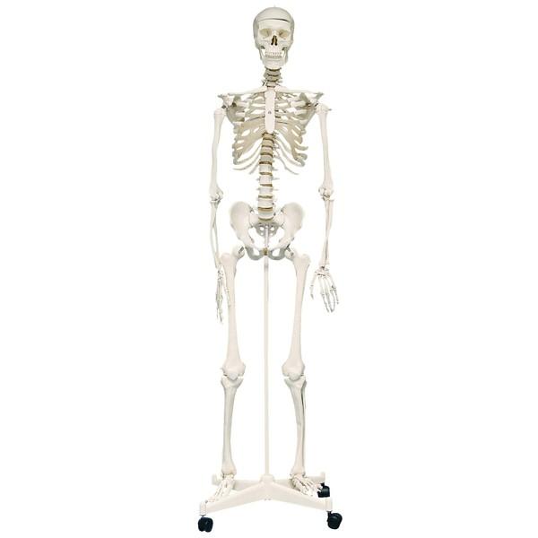 Szkielet czołwieka 160 cm