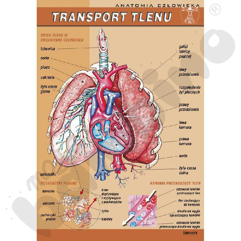 Plansza dydaktyczna - transport tlenu