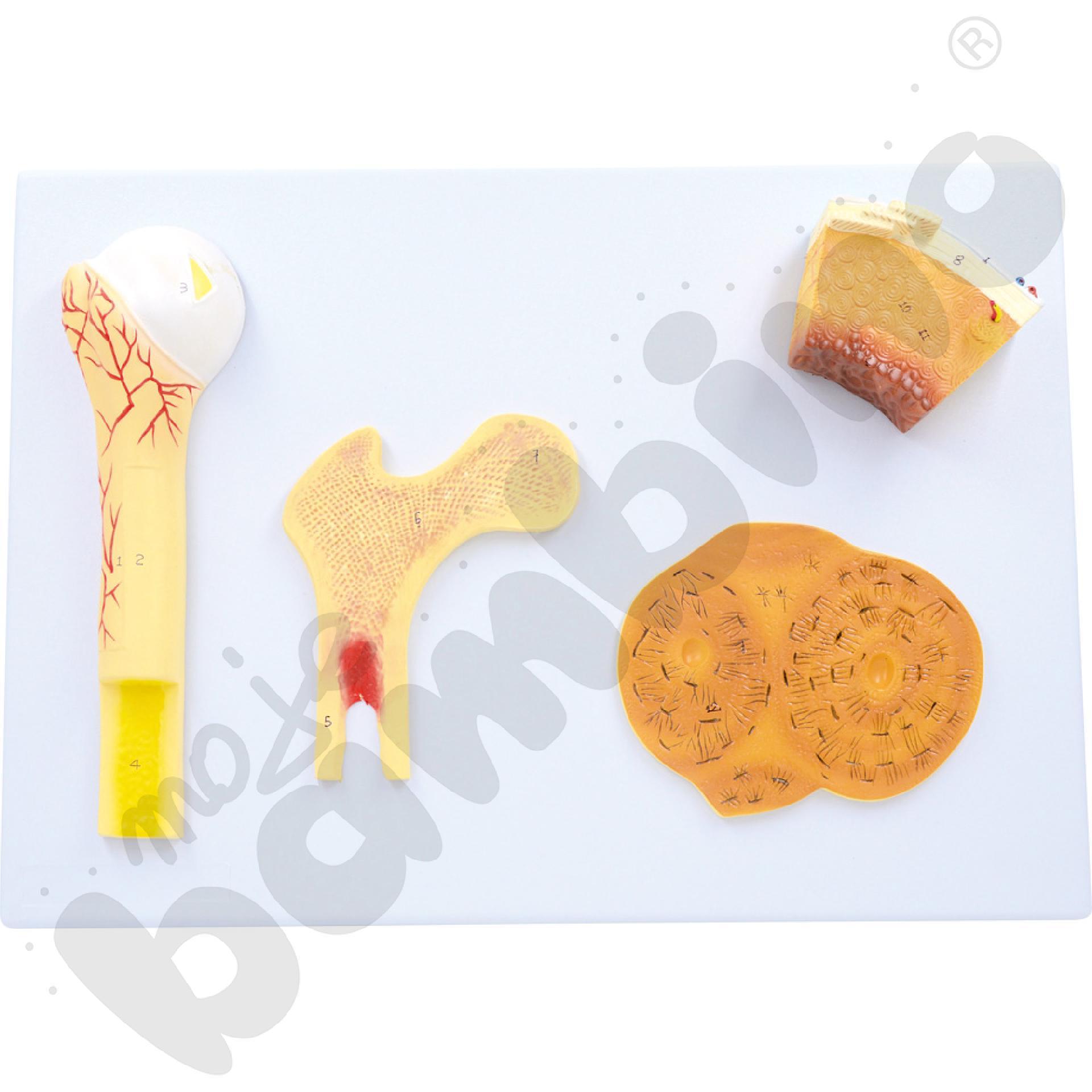 Przekrój kości - tablica