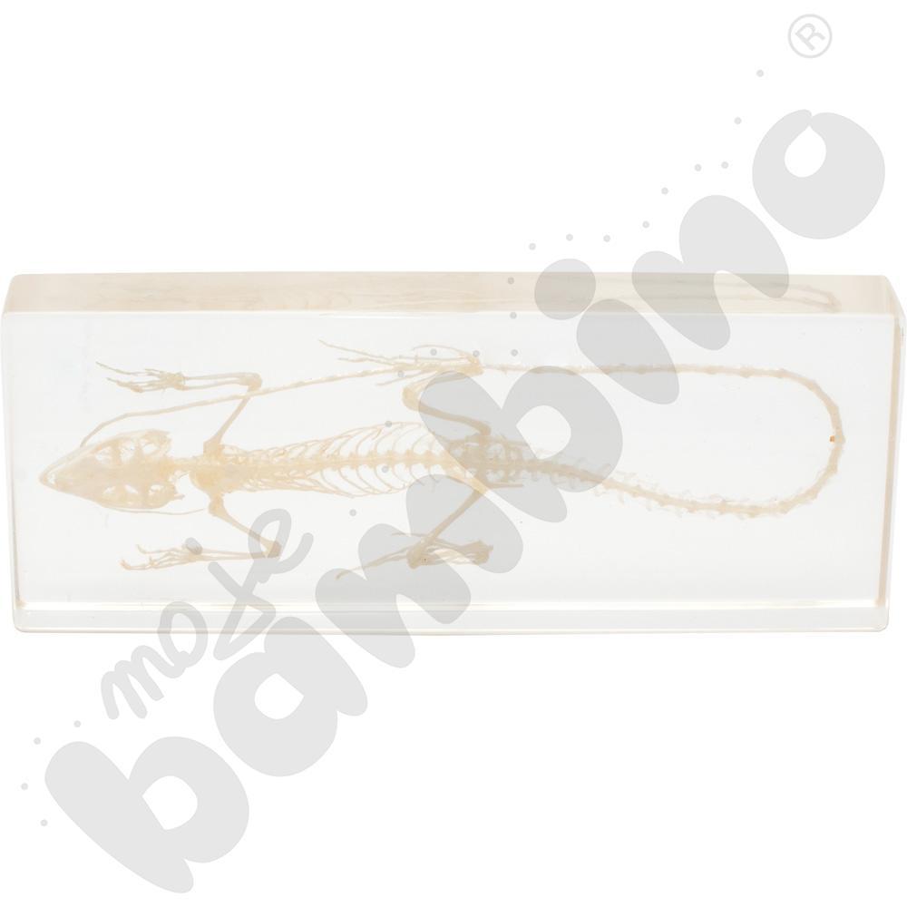 Szkielet zatopiony w pleksi - jaszczurka