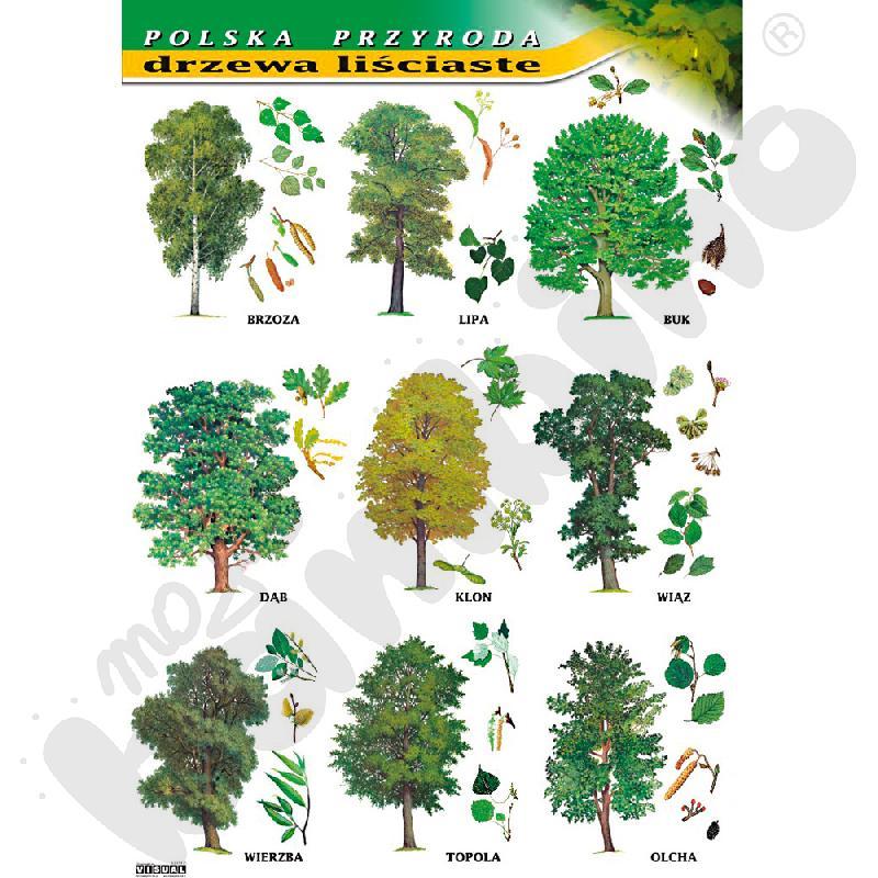Plansza dydaktyczna - drzewa liściaste