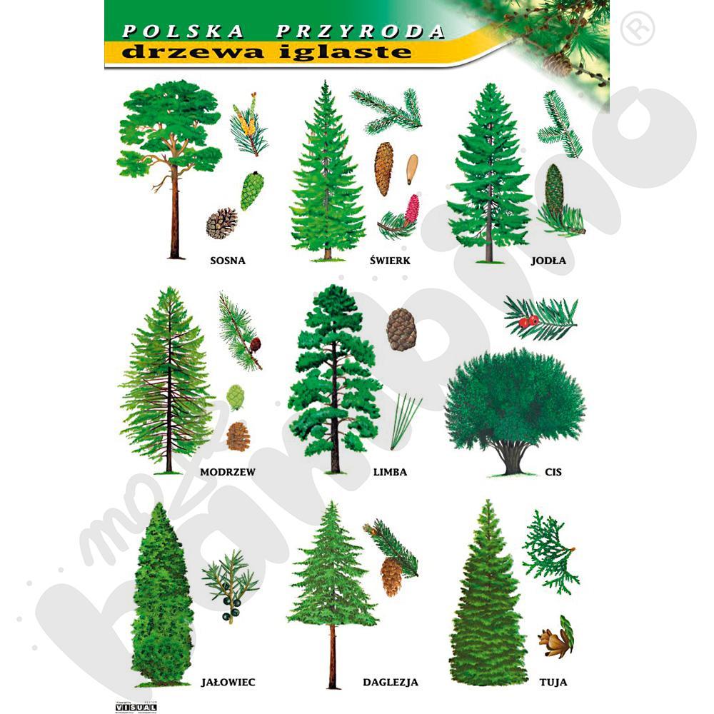 Plansza dydaktyczna - drzewa iglaste