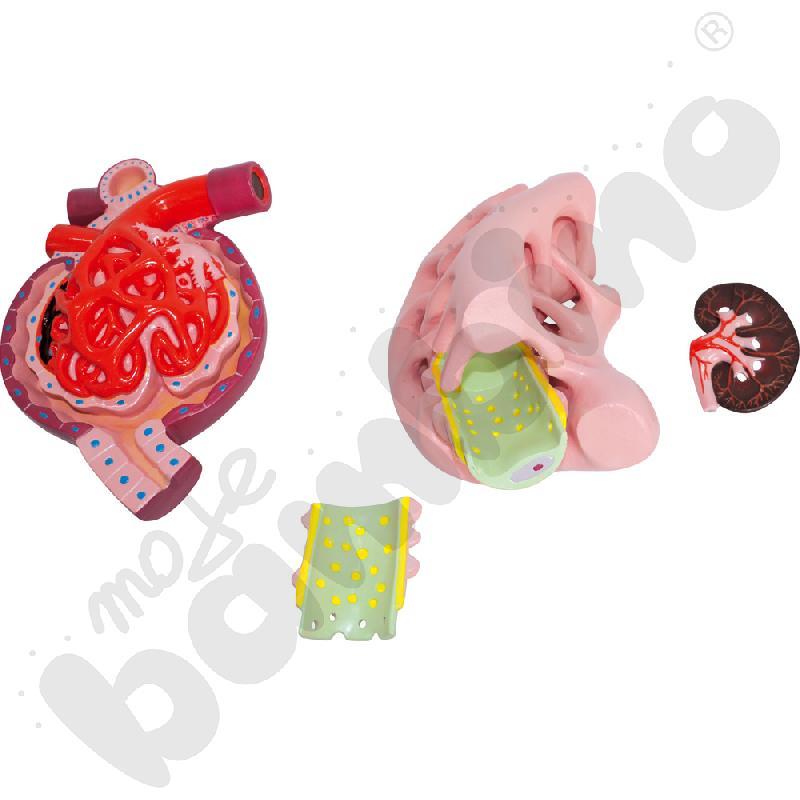 Nefron, kłębuszek nerkowy i podocyt - tablica