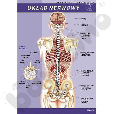 Plansza dydaktyczna - układ nerwowy