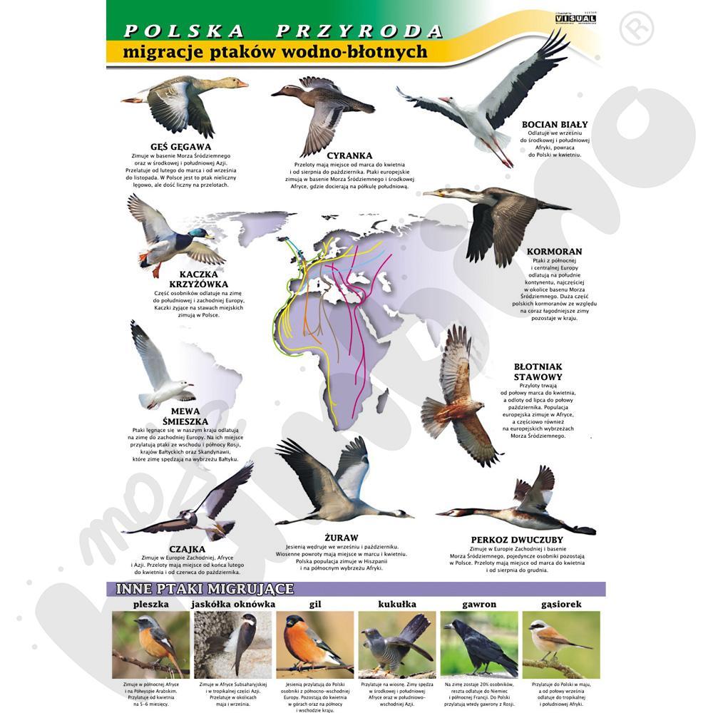 Plansza dydaktyczna - migracje ptaków - polska przyroda