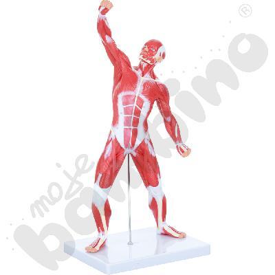 Układ mięśniowy - 50 cm -...
