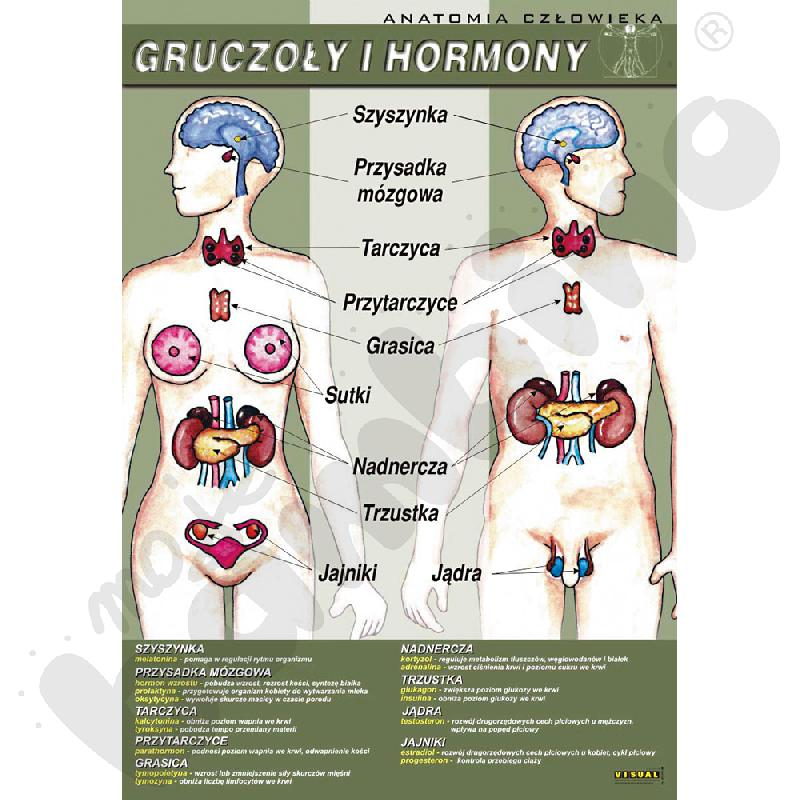 Plansza dydaktyczna - gruczoły i hormony