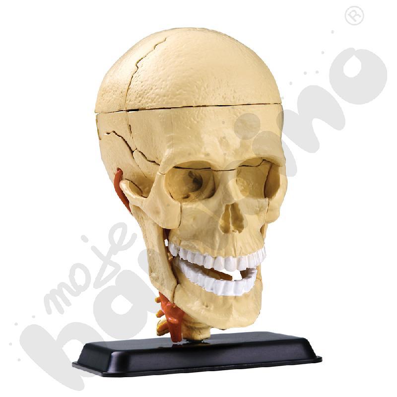 Model czaszki