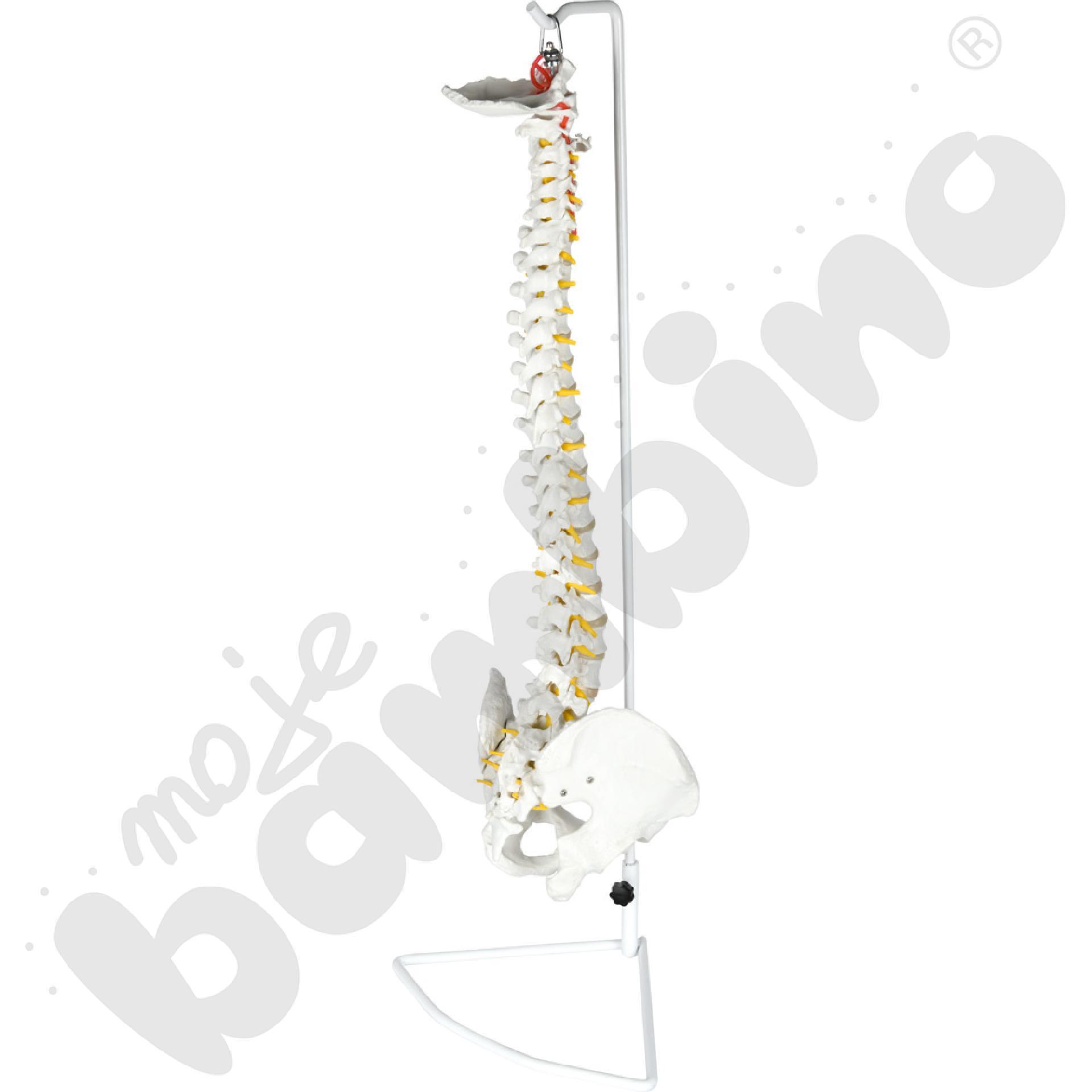 Model miednicy z kręgosłupem