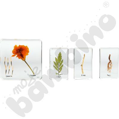 Budowa roślin w pleksi