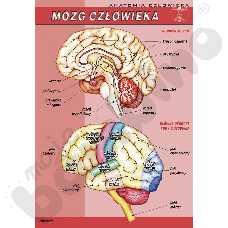 Plansza dydaktyczna - mózg człowieka