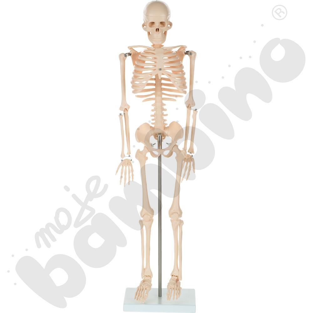 Szkielet człowieka 85 cm