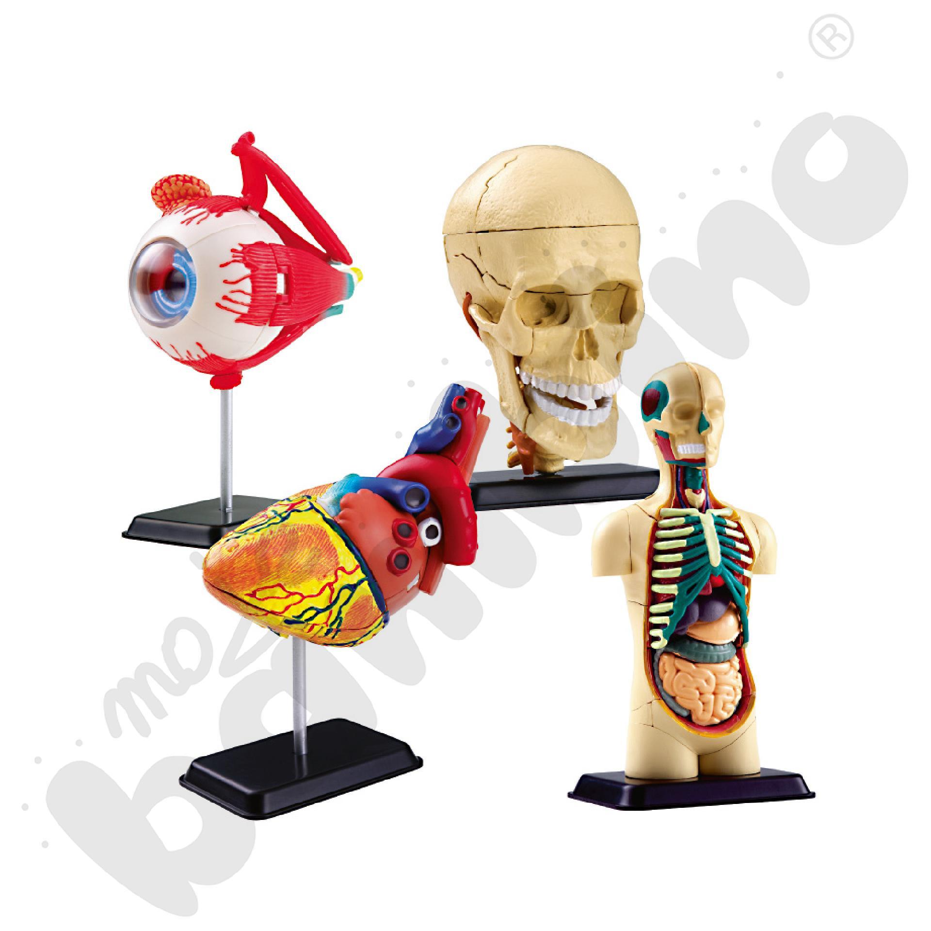 Zestaw modeli części ciała człowieka