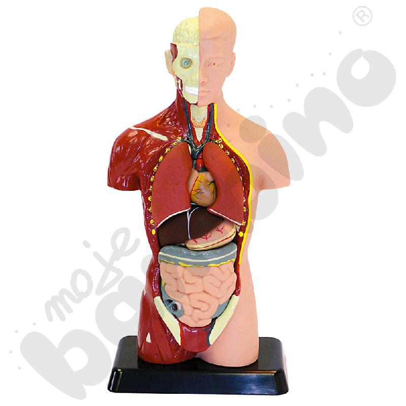 Model człowieka 27 cm