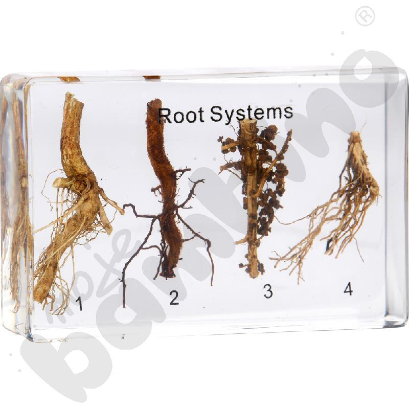 Systemy korzeniowe w pleksi