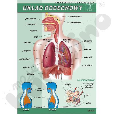 Plansza dydaktyczna - układ oddechowy