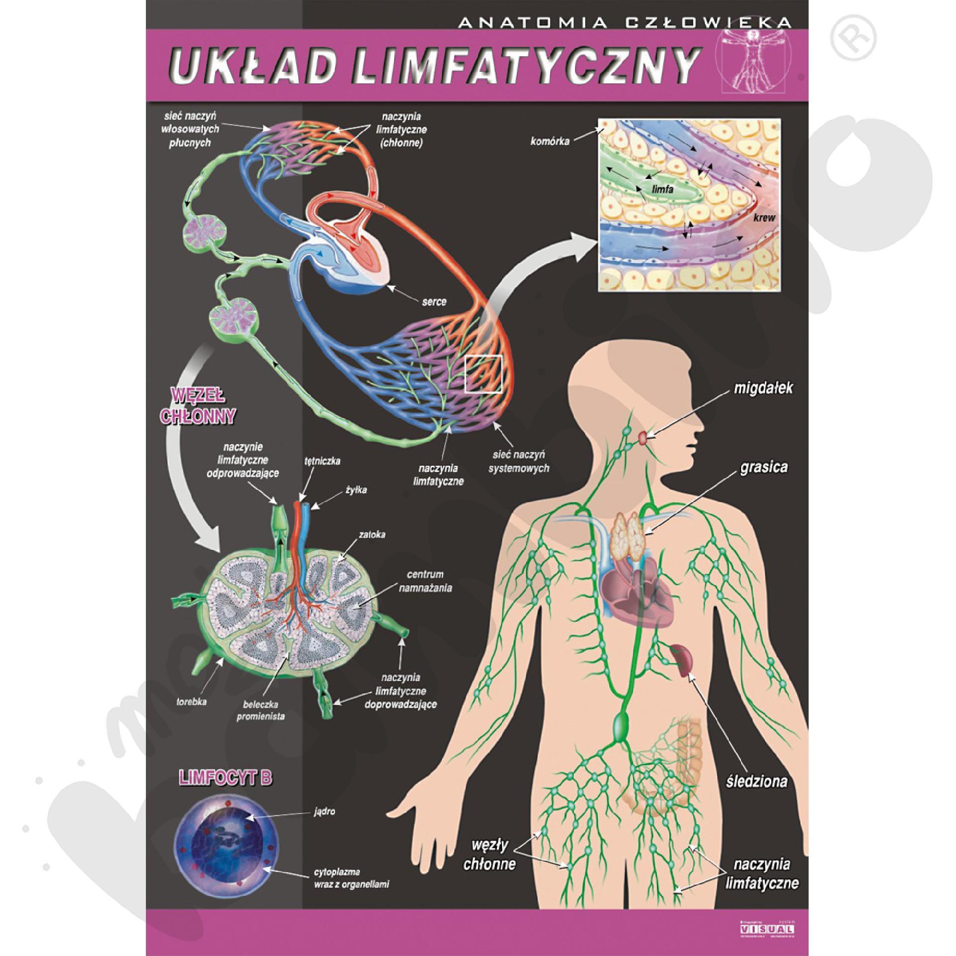 Plansza dydaktyczna - układ limfatyczny